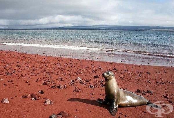 Червеният плаж, Рабида, Галапагос. Червеният цвят на пясъка на плажа се дължи на окисляването на богатите на желязо залежи на лава.