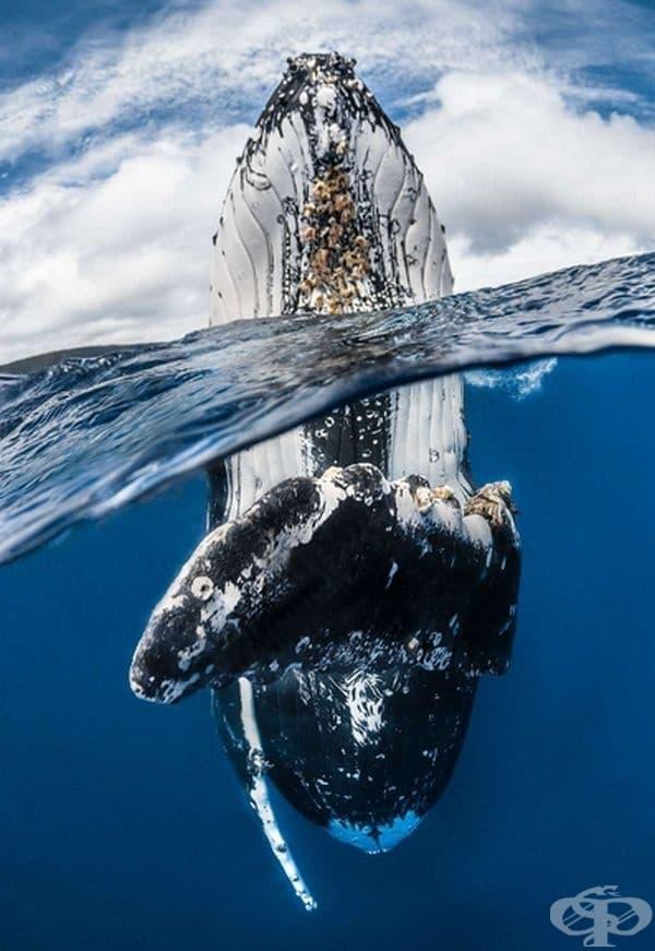 """""""Скок на гърбат кит"""", победител в номинацията """"Широкоъгълен кадър""""."""