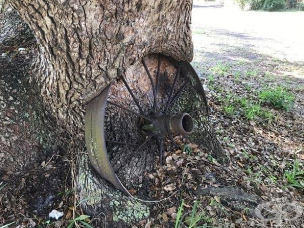 Това дърво е пораснало заедно със старо колело в него.