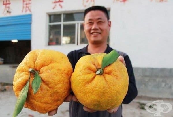 Китаецът Лиу Фенбин показва своята реколта от гигантски портокали. Той споделя, че вече няколко години събира подобни плодове от едно дърво. Тайната на този феномен все още не е известна.