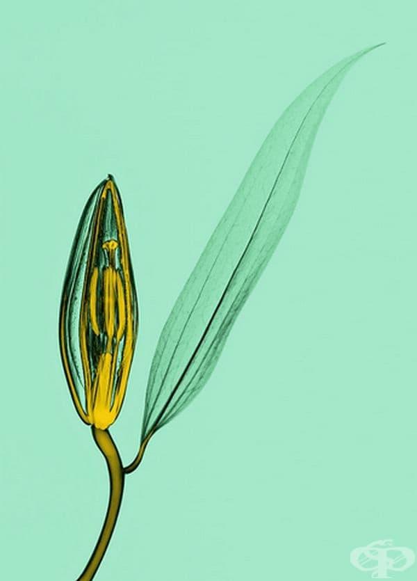 15 рентгенови снимки на познати растения