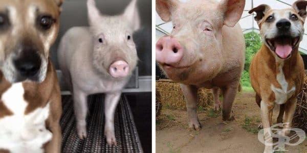Естер е прасе, представено на собствениците си като мини прасе. Сега вече е голяма, но все още обича да се гушка в своя приятел.