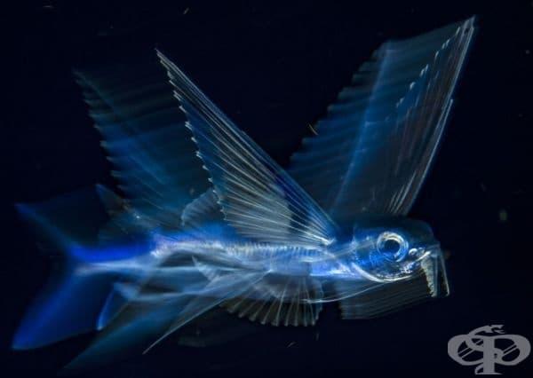 Летяща риба, Палм Бийч, Флорида.