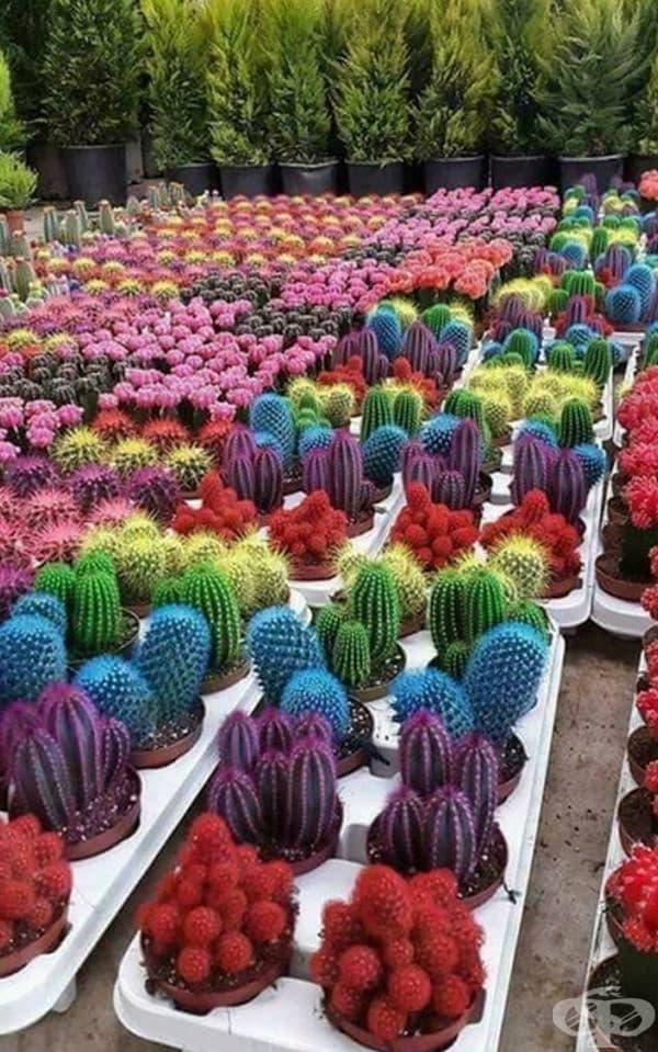 Разноцветни кактуси.