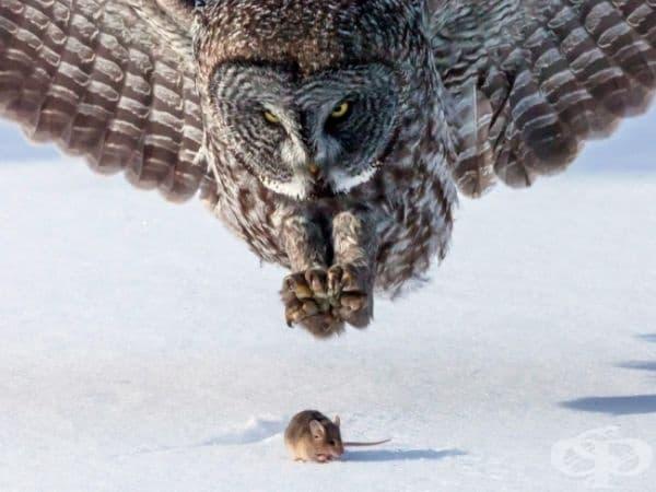 Сова и мишка, Минесота. (Снимка: Том Самълсън)