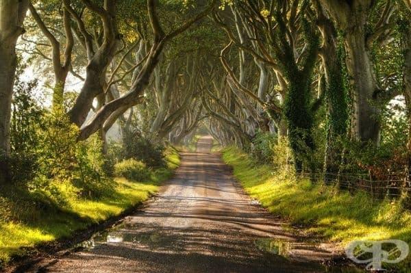 Алея от букови дървета, Северна Ирландия.