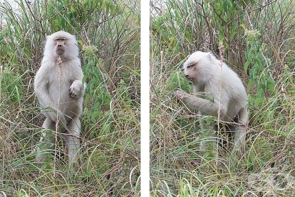 маймуна