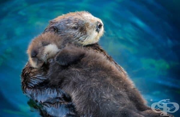 Малките морски видри спят върху майките си.