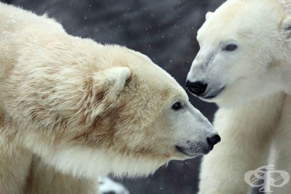 Полярните мечки се поздравяват, допирайки носове един в друг. Те правят това, когато искат да помолят за дадена услуга - например, ако имат нужда от храна.