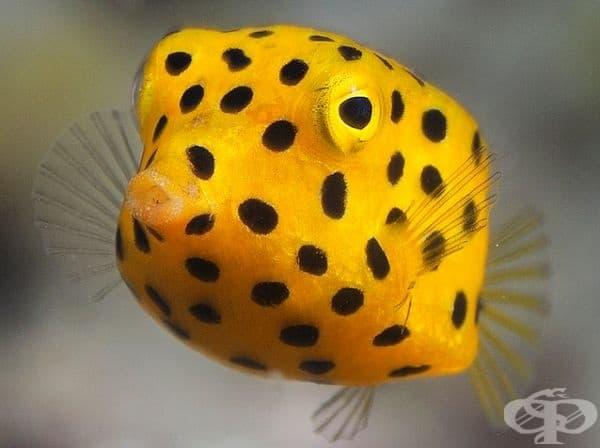 Риба Boxfish.