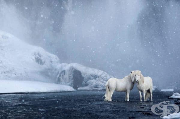 Красотата на исландските коне.