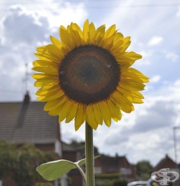 """""""Аз съм на 13 години и обичам фотографията. Това е снимка на слънчоглед пред моя дом. Не е нещо иновативно, но ми харесва."""""""