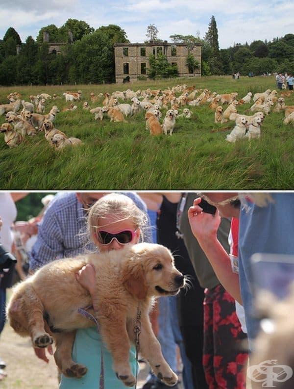 Фестивалът Златен ретривър, Шотландия. Миналата година 361 кучета участваха на този фестивал и това е било най-голямото събиране на породата от 2006 г. насам.