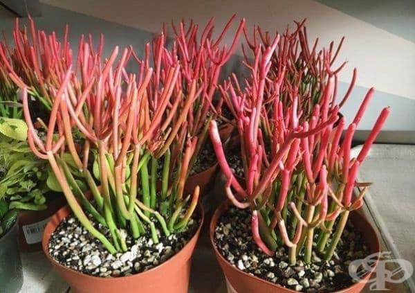 Млечка тирукали. Растение, което изглежда като огнени пръчки и изисква минимални грижи.