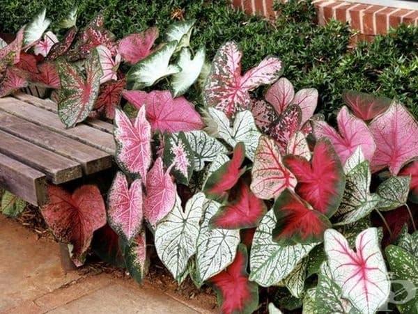Каладиум градински. Всички части на растението са токсични, като отровното вещество е оксалат. При поглъщане може да предизвика болки в гърлото и дразнене в устата.