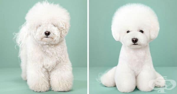 7 кучета преди и след прическа в японски стил