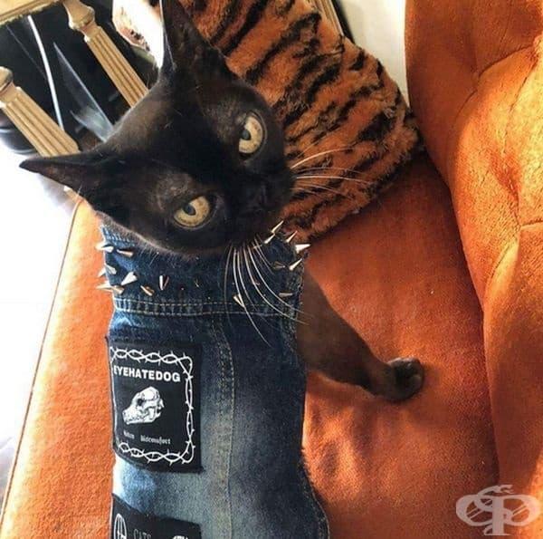 Котка с пънк-рок дреха.