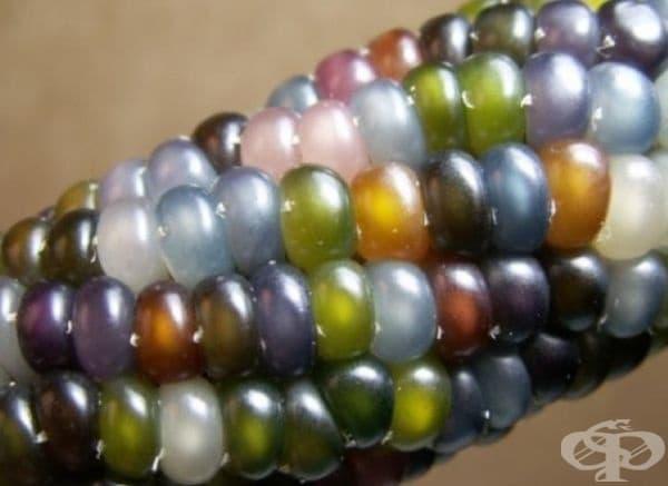 Царевица с цветни зрънца като стъклени мъниста. Това не е фотошоп, това е селекциониран сорт царевица.