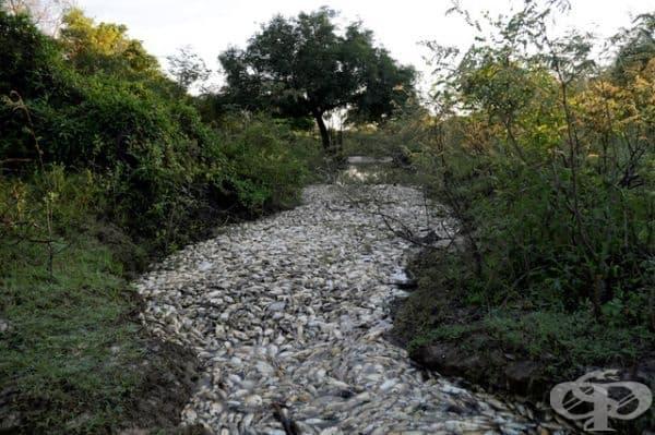 Река Конфузо в Парагвай е изпълнена с толкова много мъртва риба, че водата е трудно да се види.