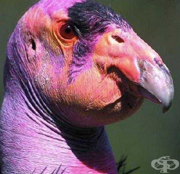 Калифорнийски кондор. Това е много рядък вид американски лешояд.