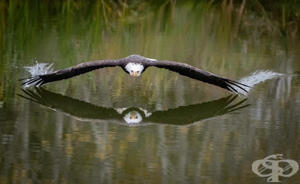 Орел, летящ над езеро в Канада.