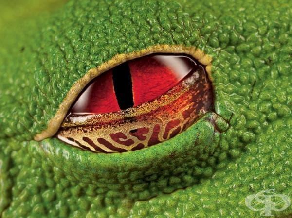 Алените очи на жаба, Коста Рика