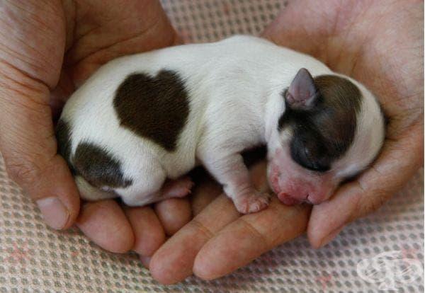Бебе чихуахуа в Северна Япония