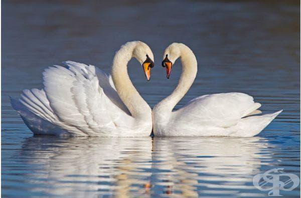Лебеди, чиито шии са с формата на сърце. Това се случва по време на ухажване.