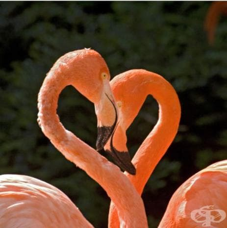 Две фламингота, образуващи форма на сърце