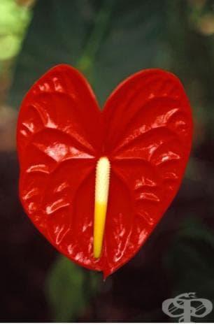 Антуриум, израснал като червено сърце, на фона на зелени листа в Хаваи.