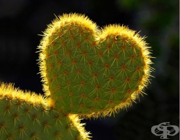 Кактус с форма на сърце