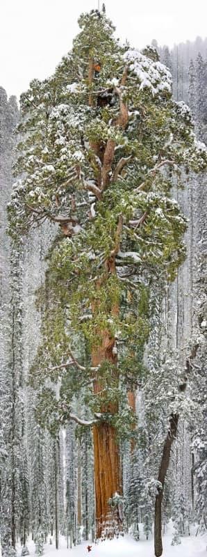 Третото по големина дърво в света (гигантска секвоя), Калифорния.