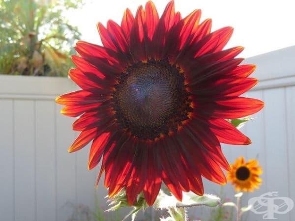 Слънчоглед с червени цветчета.