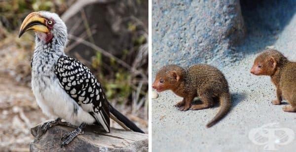 Джуджетата мангусти се сприятеляват с хорнбилите: първите споделят плячката си, докато птиците ги предупреждават за хищници, наблюдавайки всичко отвисоко.