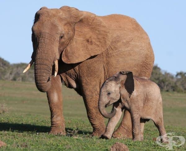 Слоновете смучат хоботите си, за да се успокоят, точно както правят бебетата със своите палци.