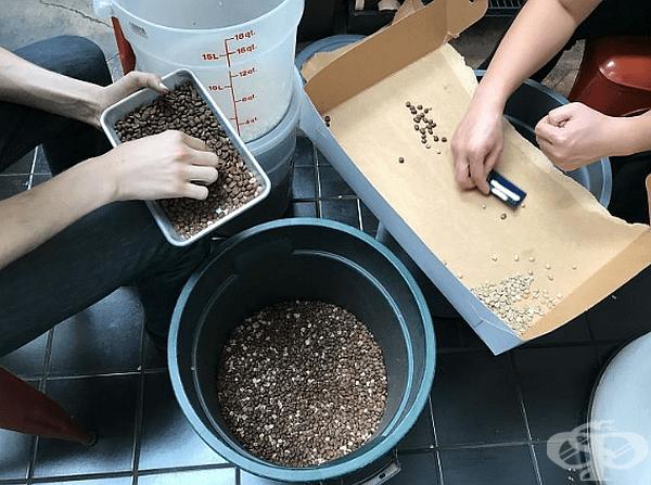 """""""Шефът хвърли шепа непечено кафе в печено. Сега трябва да сортирам 10 000 зърна кафе на ръка."""""""