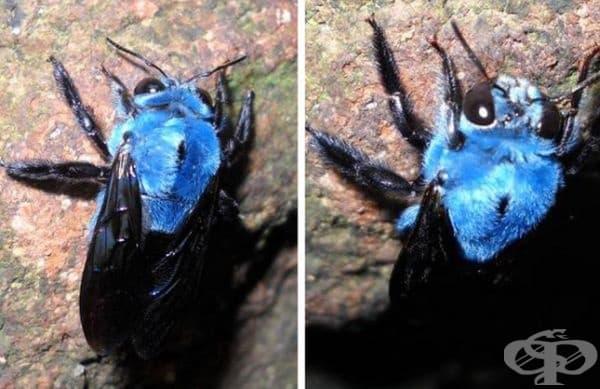 Синя дива пчела.
