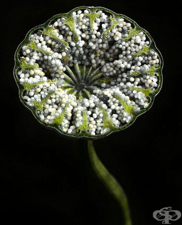 Макови семена.