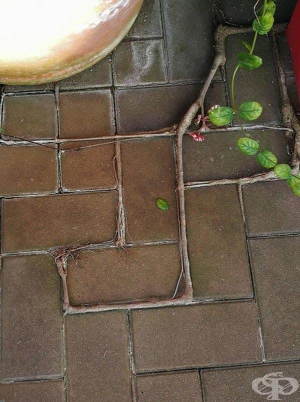 Корените на това растение се разпростират по линиите между плочките.