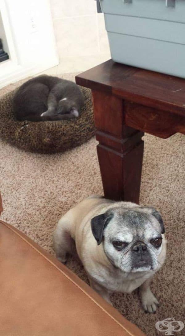 Котката е заела леглото на кучето. Неговото лице казва всичко.