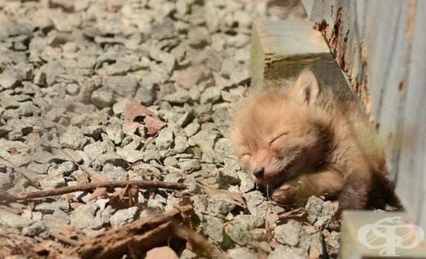 Баща и дъщеря намират бебета лисичета в задния двор - изображение