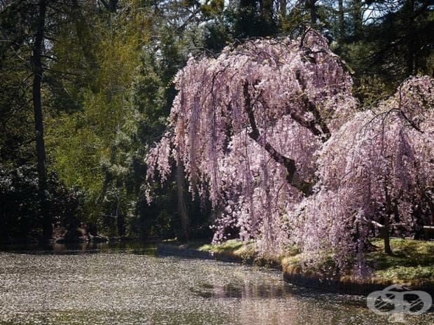 Ботаническата градина в Бруклин, Ню Йорк