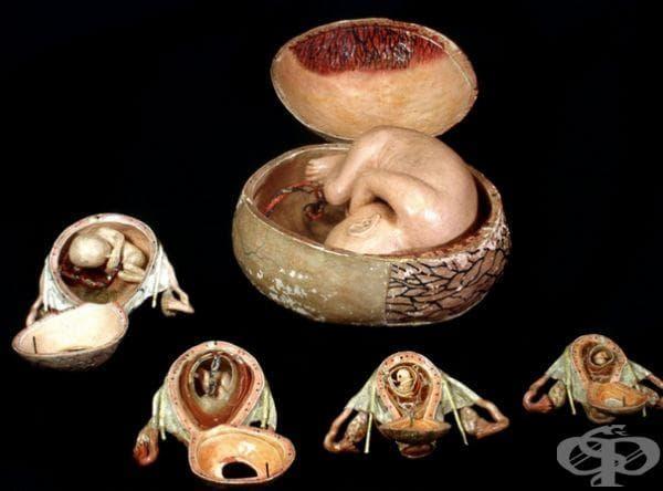 Снимката изобразява папиемаше на ембрионални модели, датиращо от средата на деветнадесети век.