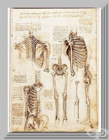 Рисунка на скелет на Леонардо да Винчи, създадена около 1500 година.