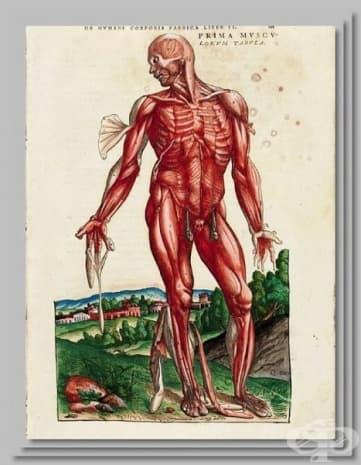 """""""Анатомия на мускулите"""" - картина на Везалий."""