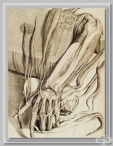 """Това е илюстрация от """"Anatomia humani corporis"""" от 1685 година на Говард Бидло."""