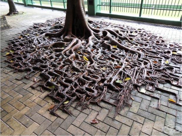 Корените на дървото следват очертанията на паветата