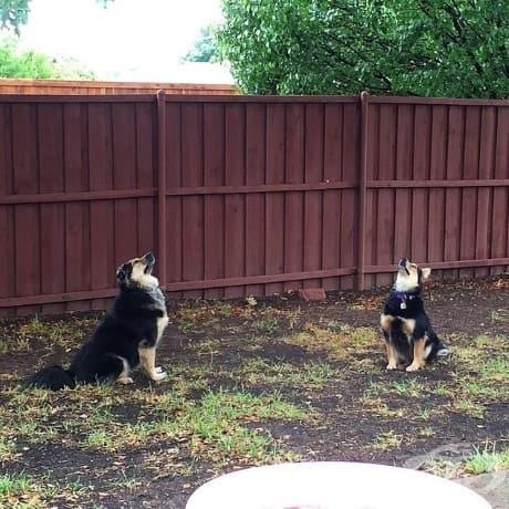 Тези две кучета чакат в продължение на часове, за да заловят катерицата нарушител