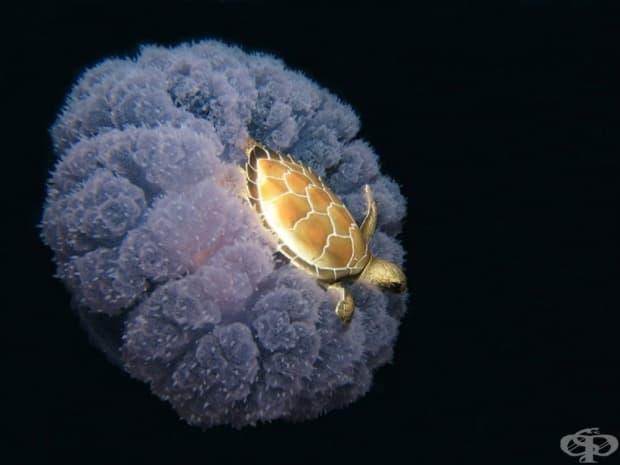 Костенурка, която язди медуза