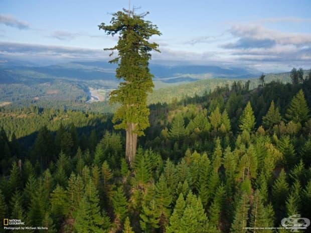 Хиперион /секвоя/, най-високото дърво на планетата. Извисява се на 115 м и е  приблизително на 700-800 години.